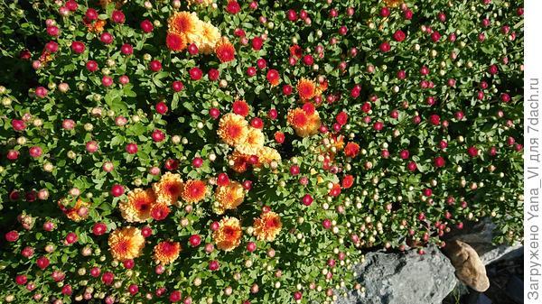 Хризантемы мультифлора только только начинают распускаться...