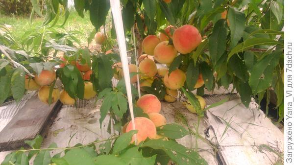 персики зреют