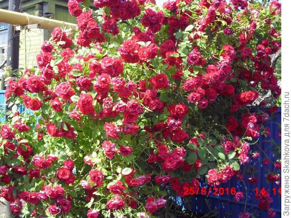 А эту розу она где-то у дороги выкопала!! Вот теперь такая красота!