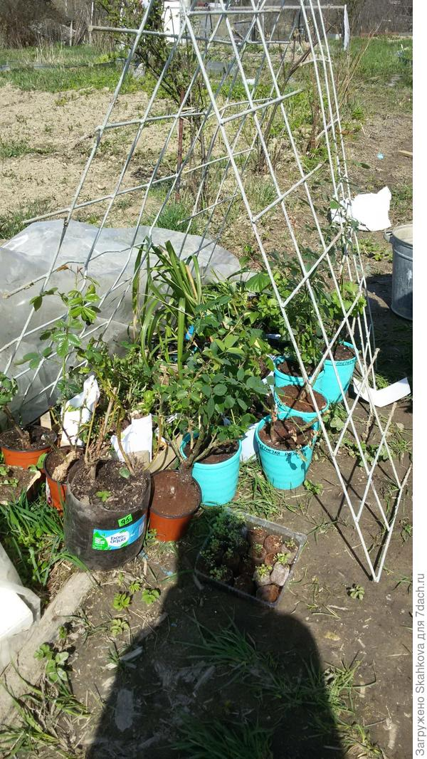 К майским праздникам перевезла всю рассаду на участок. На фото только розы, пионы, хризантемы и чуть-чуть рассады однолетков! Выбрала место для посадок и вперед...