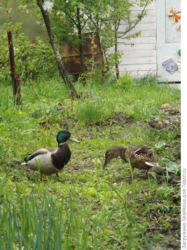 А потом стали приходить и гости!!! У кого какие , а у меня целая семейная пара! За участком течет ручей, у них там гнездо.. ко мне приходили кушать, а когда птенчики появились, я ходила к ручью-носила им зерно, хлеб и прочее, что птички любят. Меня они совсем не боялись, всегда выходили и птенцы тоже..