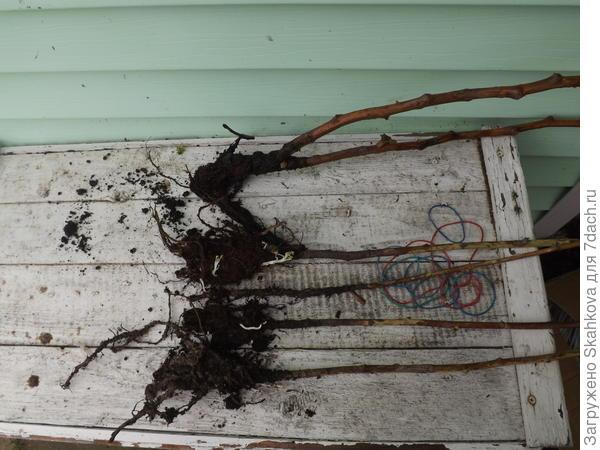 Можете наглядно убедиться, что корни в хорошем состоянии, растения живы да и выглядят просто замечательно. Если малина переживет хорошо зиму, то следующей весной на моем участке будет уже 9 сортов малины. Посмотрим, что на моей глине вырастет.