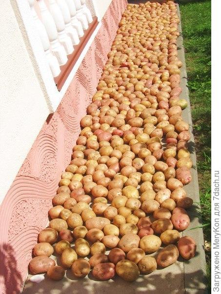 уДачный картофель