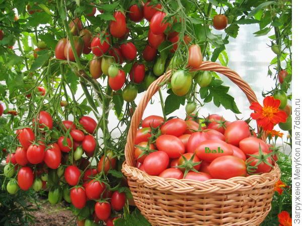 Томат № 1 для меня-Чио-Чио-Сан фирмы Гавриш (лучший сорт для любительского выращивания.)