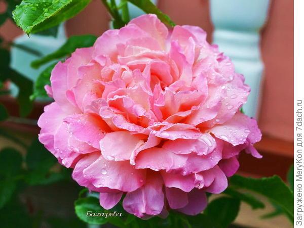 Люди выращивают в одном саду пять тысяч роз и не находят того, что ищут. А ведь то, что они ищут, можно найти в одной-единственной розе.  Антуан де Сент-Экзюпери «Маленький принц»