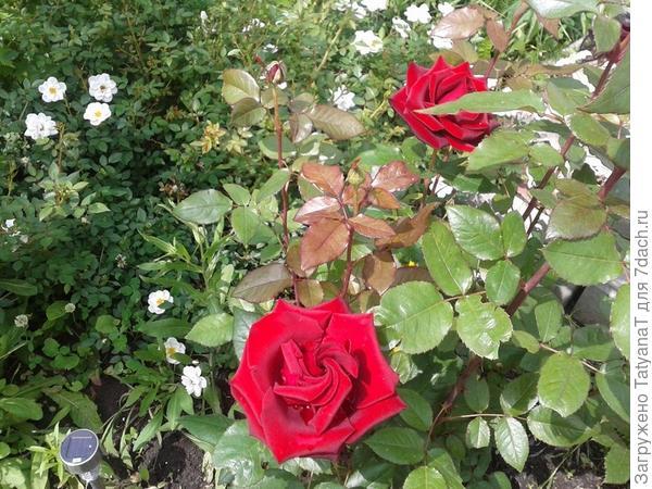 красная и белая розы