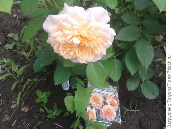 роза-остинка Грэйс