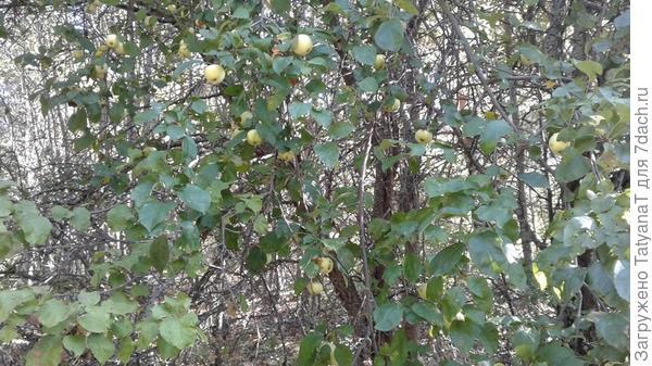 яблонька