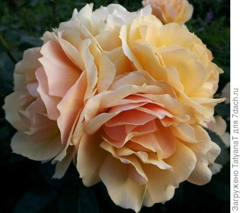 роза Tantau