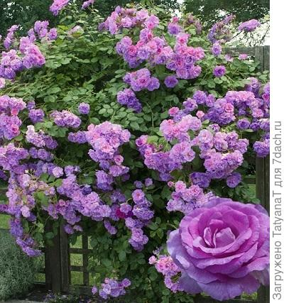 Violette Parfumee Gpt