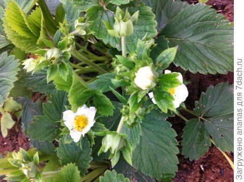 Цветет клубника
