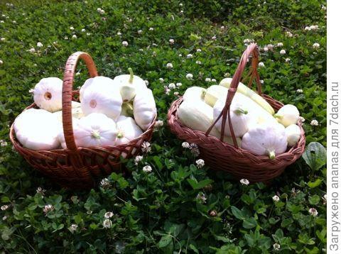 Урожай кабачков и патиссонов с 2-х кустов