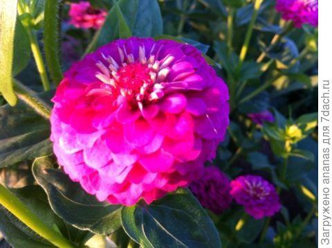 Цинии другой расцветки