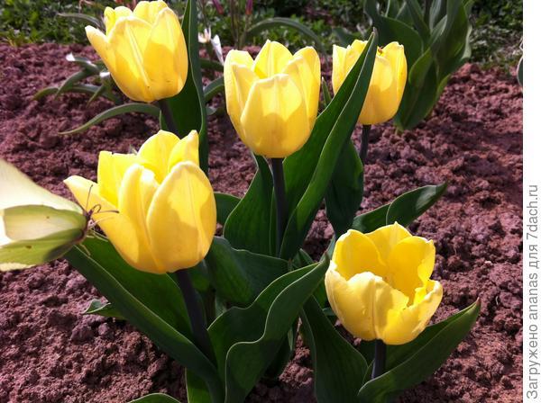 Тюльпан Солнечный принц