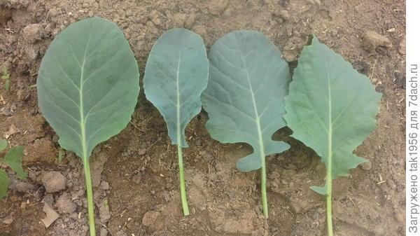 Листья капустной рассады