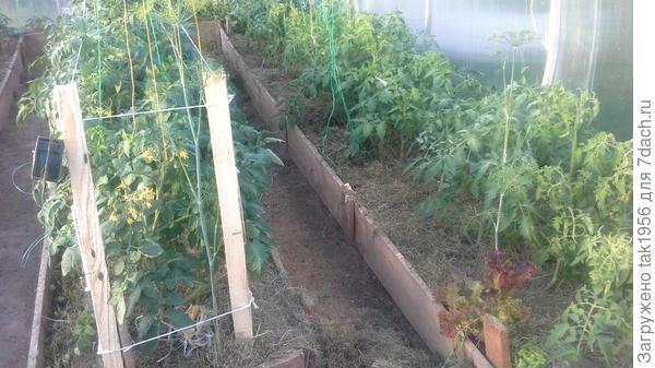 Это в другой теплице, одни помидоры, еще не закончено мульчирование и подвязка