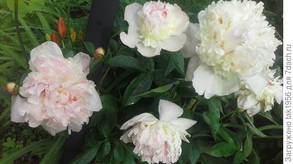 Пионы цветут