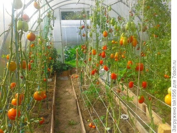 10 сентября в старой - помидорной...