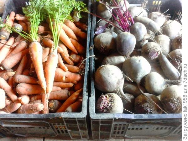 свекла морковь