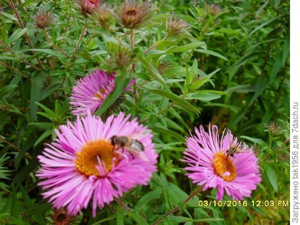 Настоящие пчёлы собирают нектар в октябре