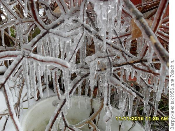 Лед на чубушнике