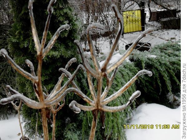 Лед на стеблях лилий