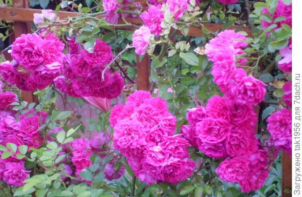 Вот такая...  Может быть кто-то знает и определит название. Она ОЧЕНЬ колючая и плети выбрасывает в несколько метров за лето. Цветет однократно в середине лета, долго.