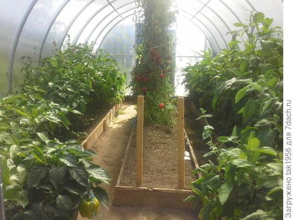 Сентябрь, урожай уже собран несколько раз, даже ранние помидоры вырваны