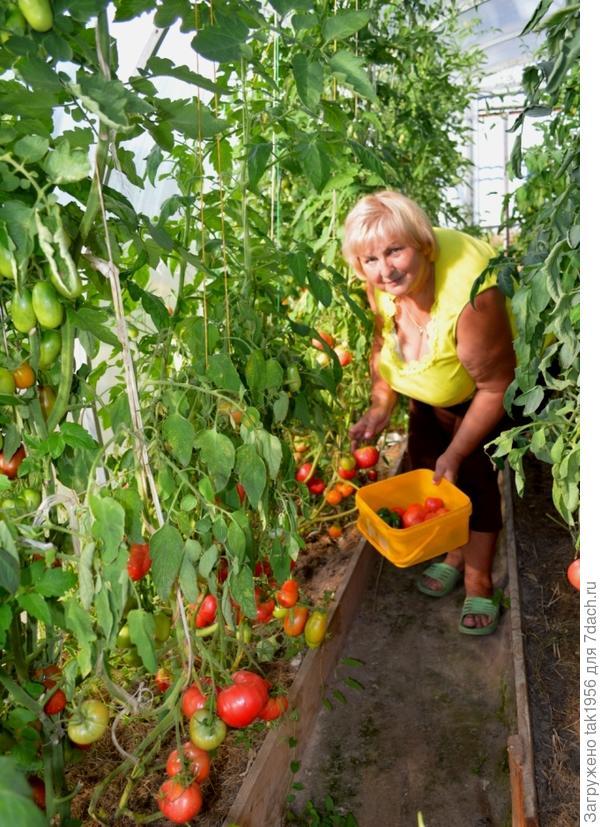 Вот так подвязаны томаты неограниченного роста в другой теплице
