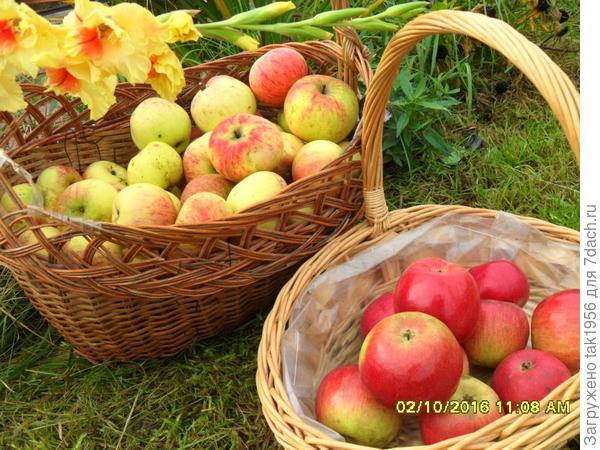 В большой корзине яблоки с этой яблони. Сорт не знаю. Они поспевает в конце сентября, мякоть нежная, а плод со стороны цветочка похож на мордочку зайчика.