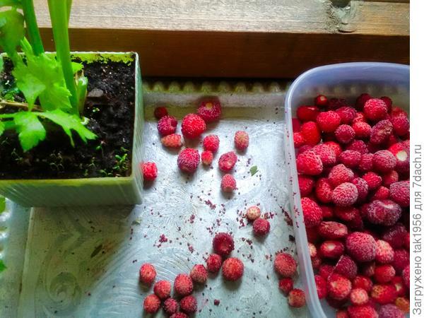 Семена с замороженной земляники