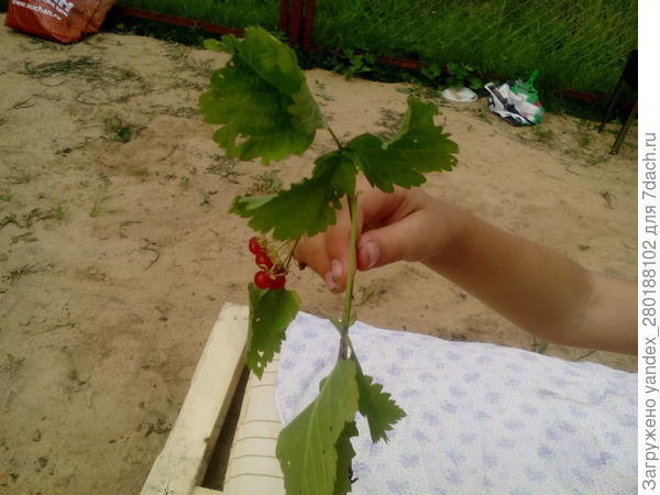 Почему у пионов чернеют листья