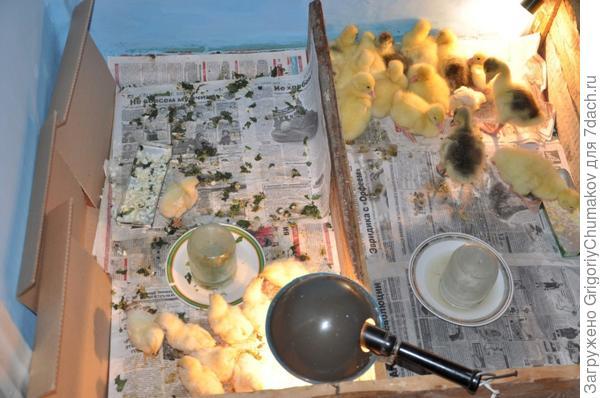 Цыплята и гусята