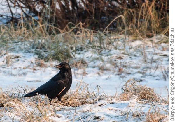 Ворона вездесущая :)