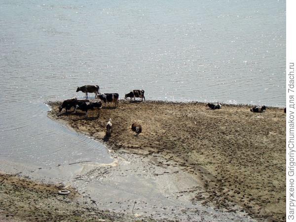 коровы на берегу большой реки