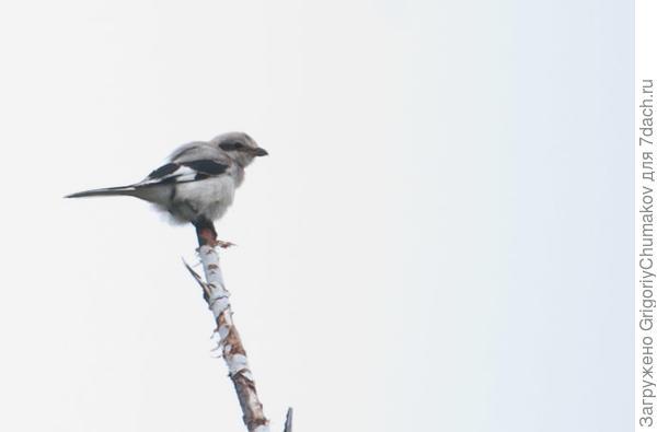 неизвестная птичка
