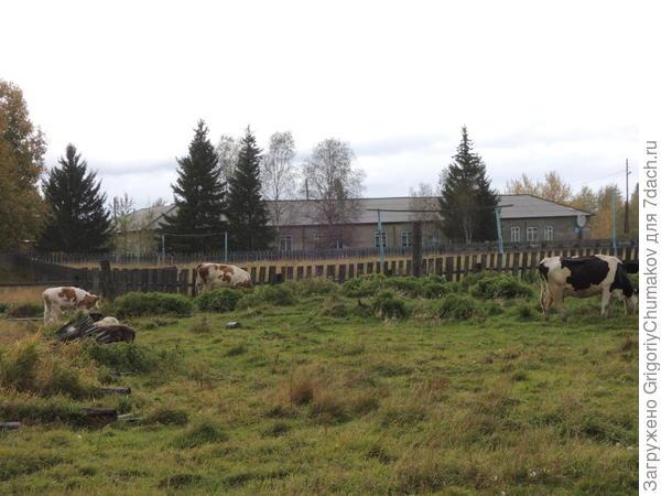 школа, коровы