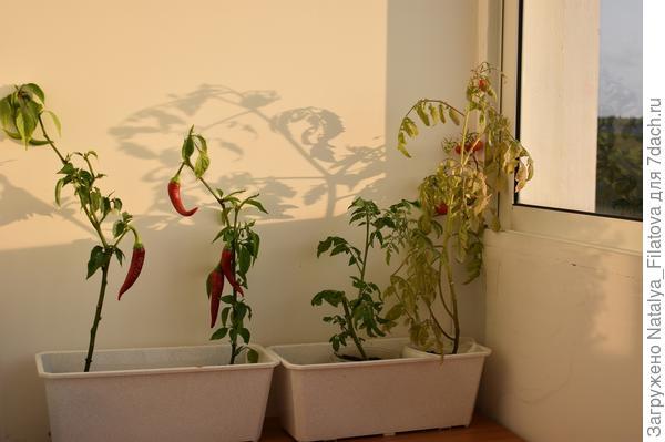 Мой огород на балконе