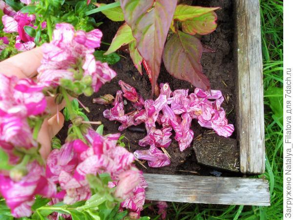 Антирринум 'Пурпурный вальс' F1. Цветение