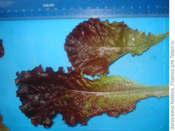 Салат листовой 'Гранатовый блеск'. Урожай