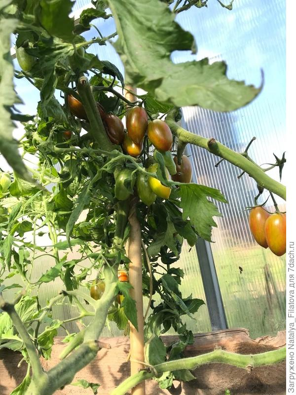 Итоговый отчет. Про томат 'Биколор' F1 от «Русский Огород»