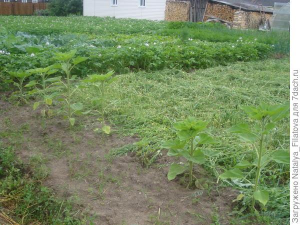 Севооборот на нашем огороде