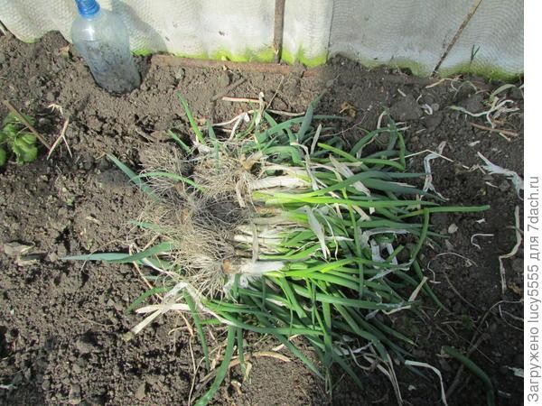 Урожай лука этого года в теплице