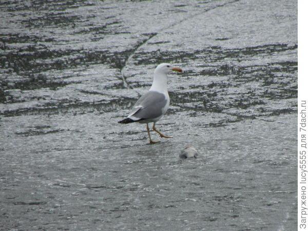 чайки тоже по льду гуляют