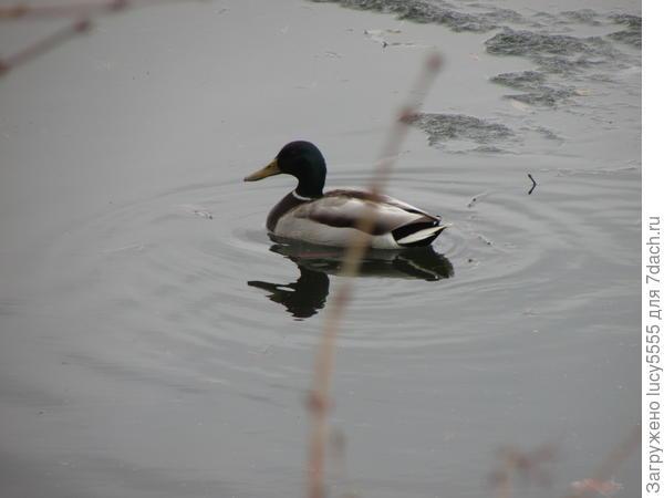 утки появились, плавают парами. Селезень красив, уточка серенькая