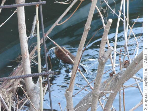 25 апреля лед от берега отошел, смогла снять свою Выдру