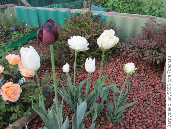 буйство тюльпанов