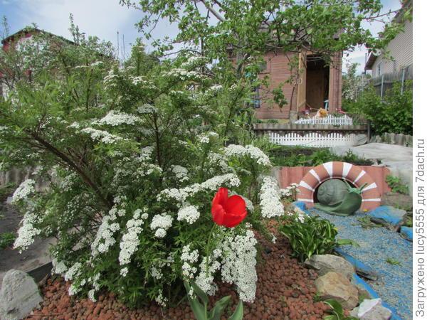 спирея и тюльпан