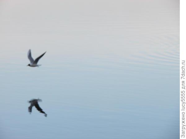 чайка в зеркале воды