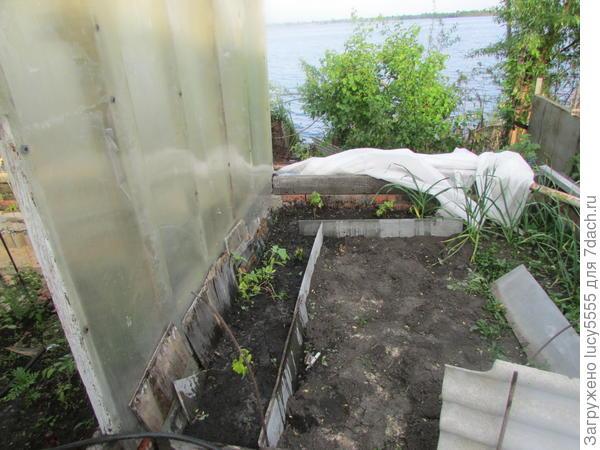 """Дом винограда на """"заднем дворе"""" теплицы"""